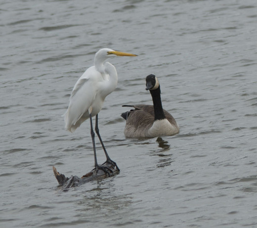 Great Egret(Left) with Canada Goose
