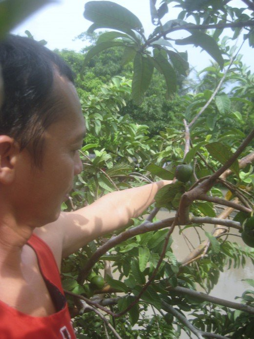 "Travel Man picking the ripe guavas (Photo Source: Ireno Alcala)The term ""guava"" appears to derive from Arawak guayabo ""guava tree"", via the Spanish guayaba. It has been adapted in many European and Asian languages, having a similar form. (Wikipedia)"