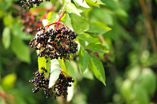 Elderberries have a range of uses in the kitchen including wine, jam and pies.