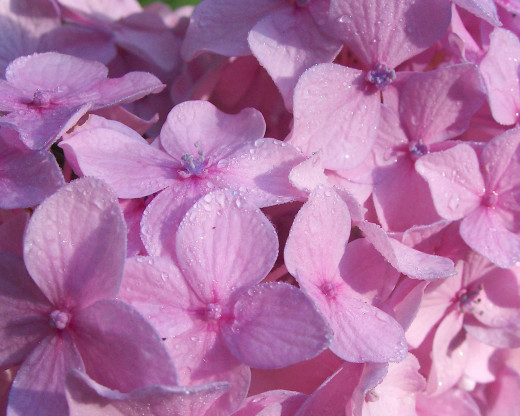 Close up of Hydrangea with Morning Dew