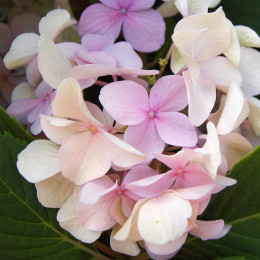 Hydrangea First Changing Colors