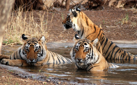 The frolicking tigers inside Jim Corbett National Park, the first Wildlife Sanctuary to be established in India.