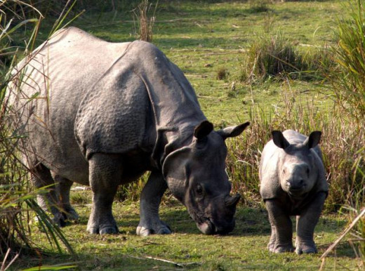 Single-horned Rhinoceros at Kaziranga National Park