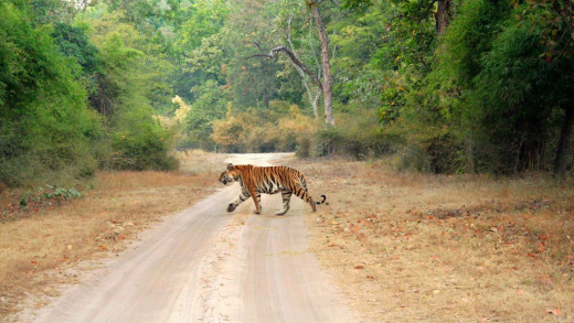 Bandhavgarh is renowned for its camera friendly tigers.
