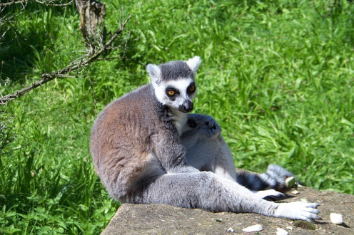 Duke University in Durham NC in the Research Triangle has it's own lemur center.