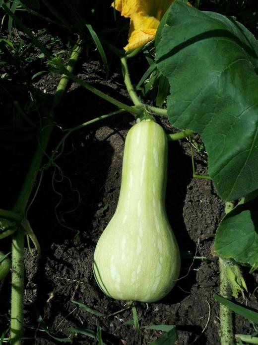 Butternut Squash in the Garden, not yet ripe