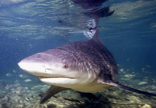 The bull shark has a fearsome reputation