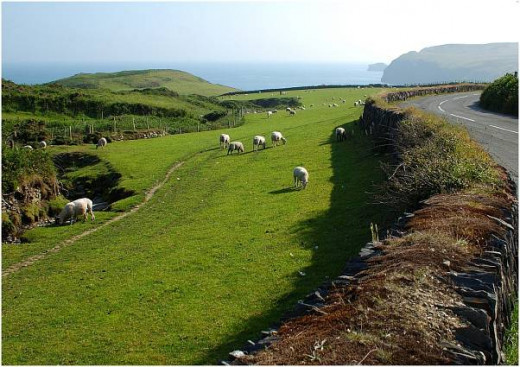 Grazing for sheep is rich around the cliffs overlooking the sea. A breed of sheep is raised on the Calf of Man off the southern end of the isle that originated in Scandinavia