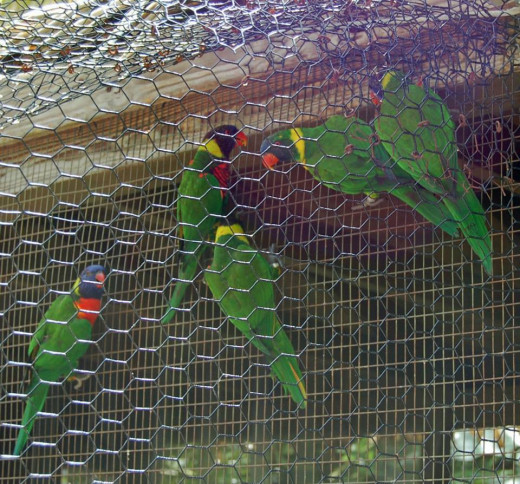 Lory in the Lory bird aviary. photo by AMB