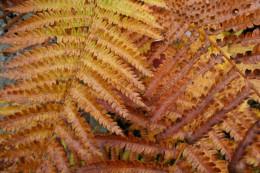 Bog ferns, autumn. Cranberry Glades Botanical Area