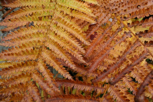 Bog ferns, autumn. Cranberry Glades Botanical Area
