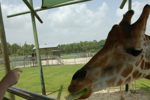 Another shot of the giraffe feeding. photo by AMB