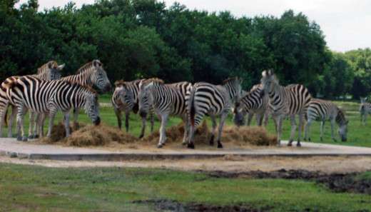 They have a lot of zebra. photo by AMB