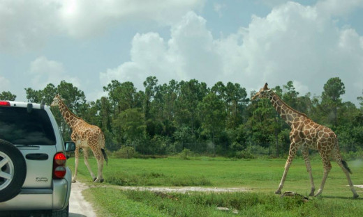 Giraffe crossing the road. photo by AMB
