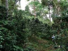 Shade-grown coffee requires no chemical pesticides or fertilizers because of the nutrient-rich soil found in mixed forests.