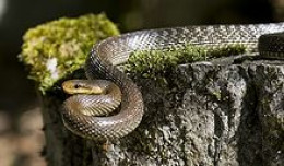 Rat snakes are just one of the many animals that prey on our migratory song birds.