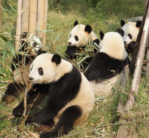Panda Picnic near Chengdu