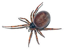 A Coffee Bean with Legs!  A False Black Widow Spider