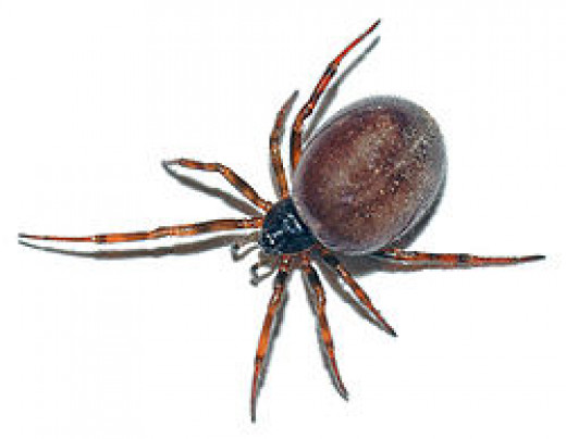 A Coffee Bean with Legs!  A False Black Widow Spider