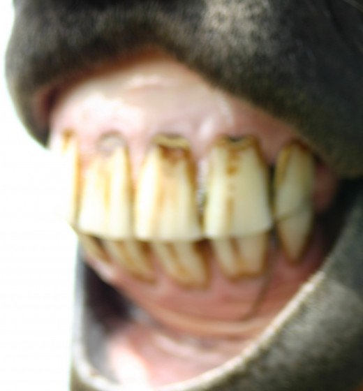 Donkeys suffer teeth problems second only to hoof problems.