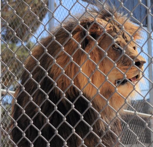 Lion Habitat Ranch Henderson, NV Tattoo