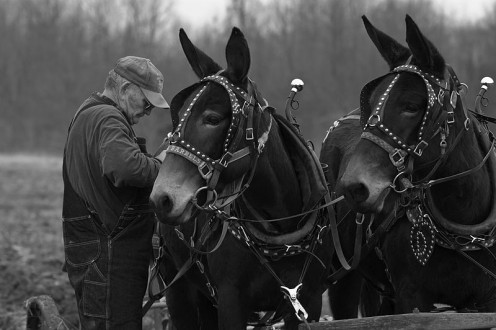 Mules working in a pair to plow the field