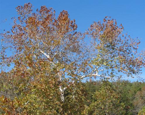 Southern Missouri Cottonwood tree