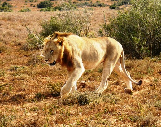 Addo Elephant Park-Lions on prowl