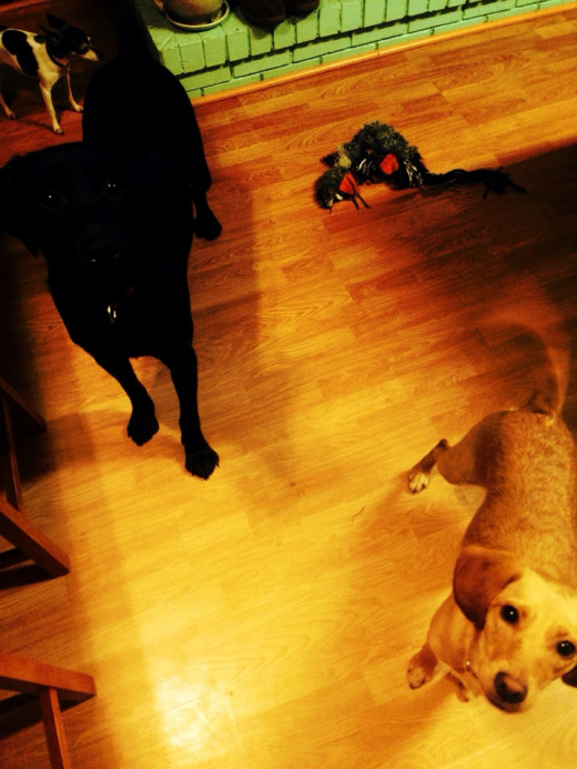 Nala (mixed breed) Pitch (black lab) and cowboy in the backround (toy fox terrier)