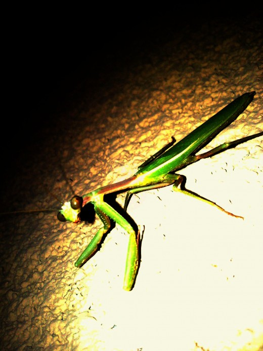 This Mantis was not at all afraid of the flash.