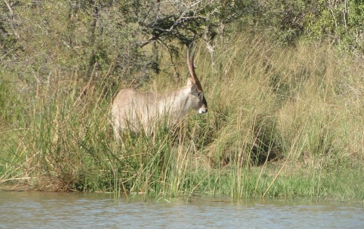 Waterbuck at Shitave Dam