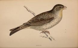 History of birds  {Rev Morris}