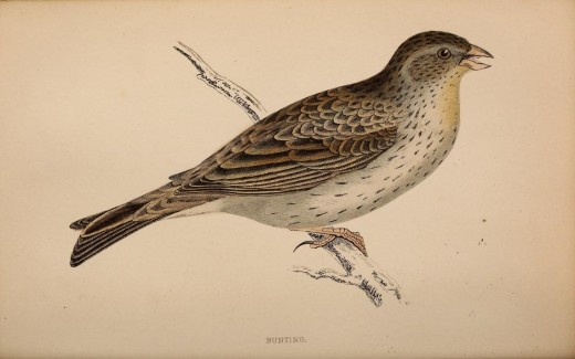 History of birds  {Rev Morris}