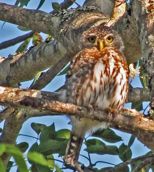 Pearl-spotted Owlet- Pretorius Kop restcamp, Kruger National Park