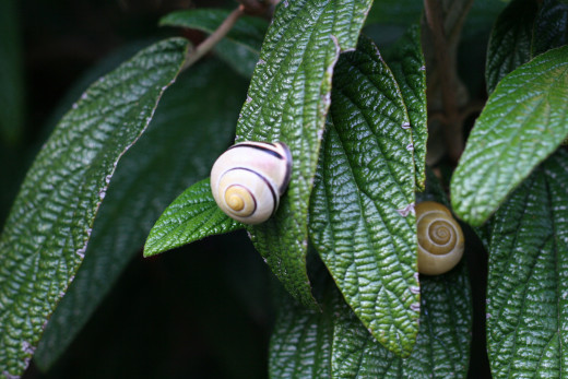 Snails on leaves - Switzerland