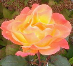 Renee's Fantasy Rose