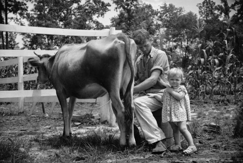 Milking a dairy cow on a farm circa 1935-1942.