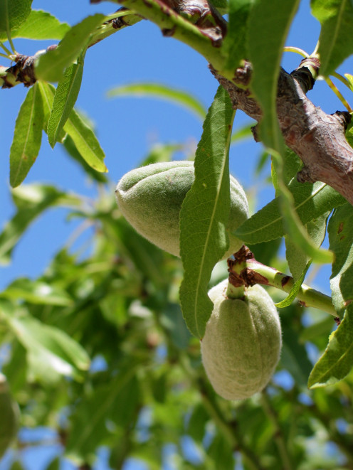 Green Almonds, photographed on the Peñon d'Ifac, Calpe, Spain.