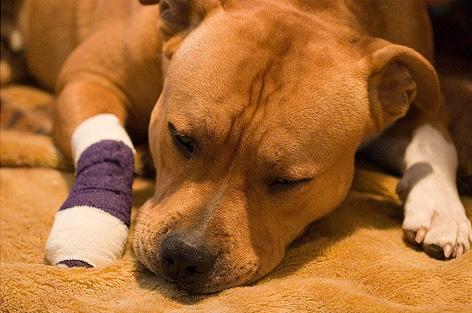 Bandaged Pitbull
