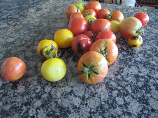 Some tomatoes from this year's crop.  Make sure you trim out the bad spots before drying.