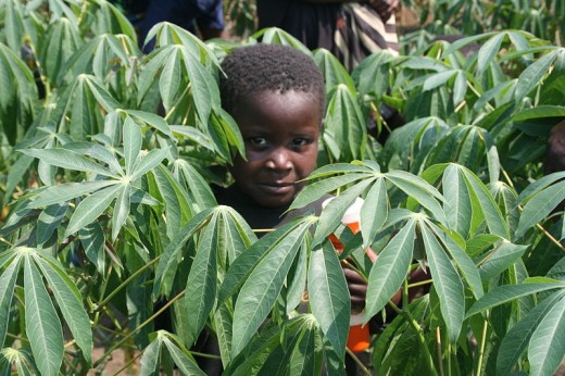 Cassava is widely grown in many countries and is generally available as fresh or frozen