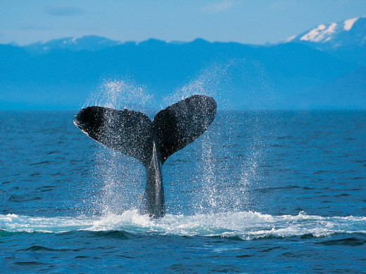 Humpback Whales Have Had Tough Time But They Have Not Given Up.  We Can't Stop!