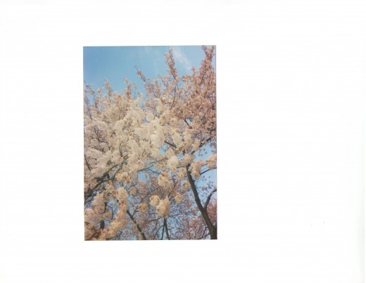 the cherry blossoms of Washington, DC
