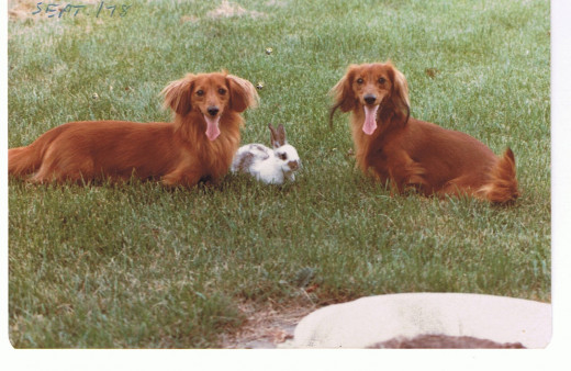 My miniature long haired dachshunds and our rabbit, Thumper
