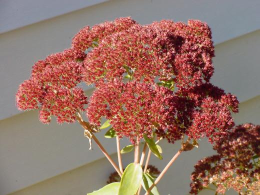 An Autumn Sedum showing its autumn color.