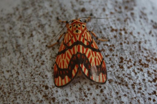 Moth with Patterned Wings.