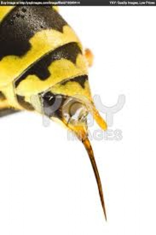A Yellow Jacket with the stinger on its back.