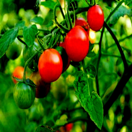 Tomato Plant in Garden
