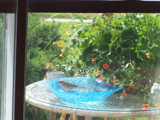 My Porch Bird After A Bath In My $1 Bowl