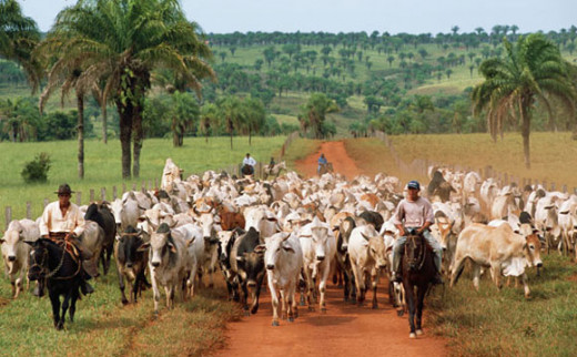 Commercial cattle ranching in the former rainforest.